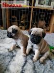 Na predaj sladké šteniatka mops a samičky