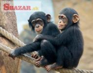 Cute Finger Marmoset Monkeys for sale