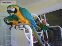 Rozkošný Ara Ararauna Papoušci Na Prodej,