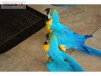 Rozkošný Ara Ararauna Papoušci Na Prodej, 94125